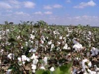 Surowce: Cena bawełny w konsolidacji przed raportem USDA